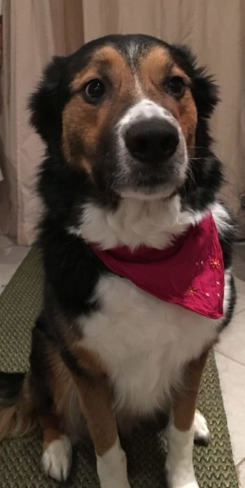 rotes Bandana für den Hund